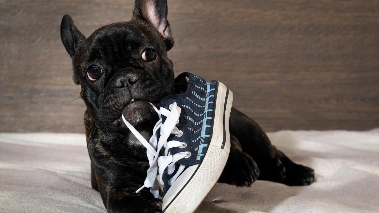 How To Train Dog Not To Chew Shoes Rachael Ray Show