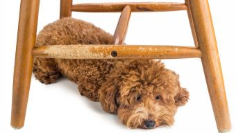 dog laying under chewed wooden chair
