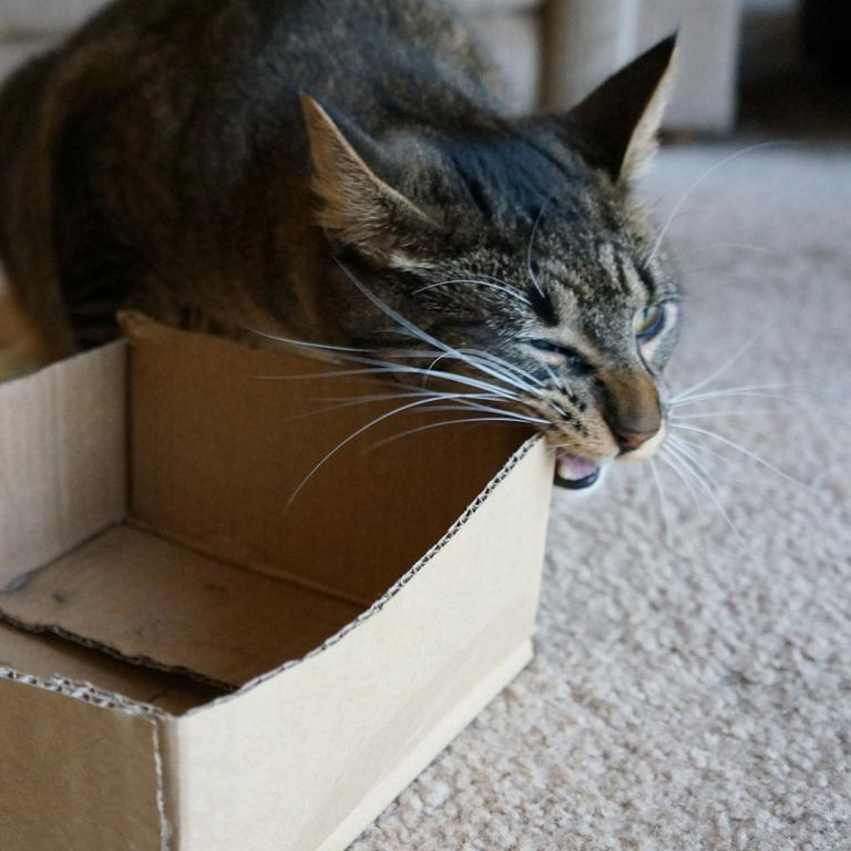 cat chewing on cardboard box